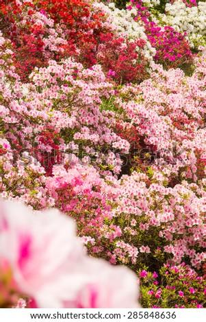 Field of flowers of Japanese Azalea - stock photo