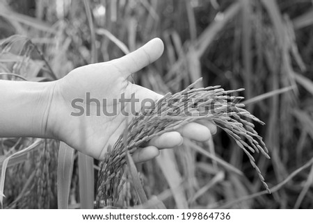 field of gold rice in hand