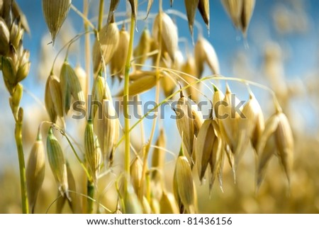 field of golden oats and blue sky, agricultural field - stock photo
