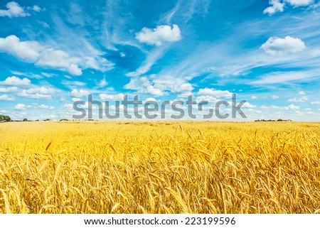 field of golden wheat and cloudy sky - stock photo