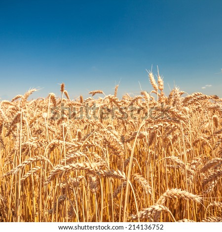 field of grass. meadow wheat under sky  - stock photo