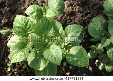Field of green potato bushes - stock photo