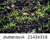 Field of growing Wheat plants - stock photo