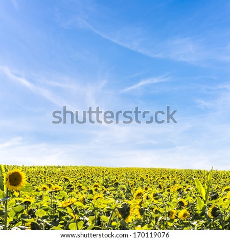 Field, of heliotropic yellow sunflowers in summer sunlight with their heads turned to face the source of the sun as their seeds ripen to provide sunflower oil and animal fodder