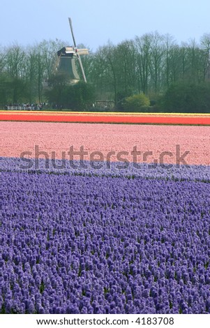 Field of hyacinths with windmill behind it. - stock photo