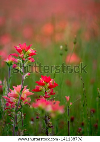 Field of Indian paintbrushes. - stock photo