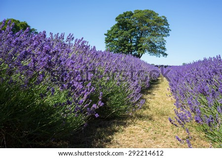 Field of Lavender - stock photo