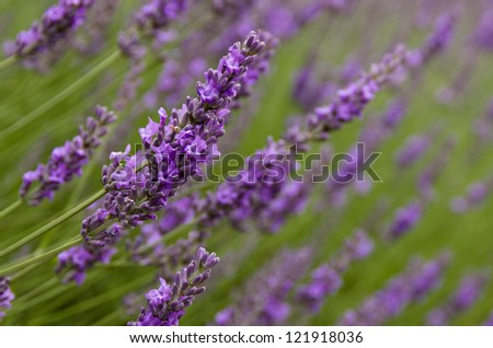 Field of lavender flowers in bloom - stock photo