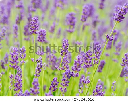 Field of lavender flowers in blossom - stock photo