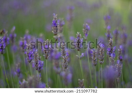 field of lavender with shallow focus