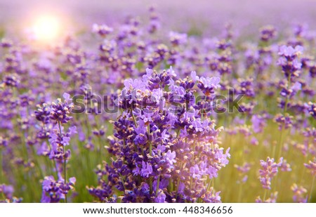 Field of lilac lavender flowers nature background - stock photo