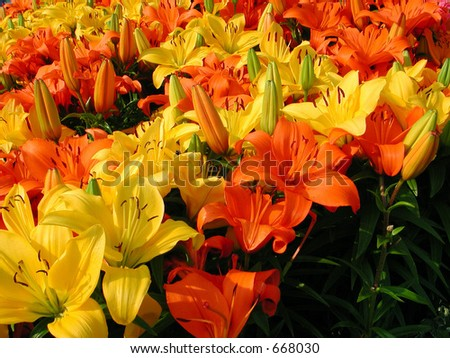 field of lily in orange and yellow