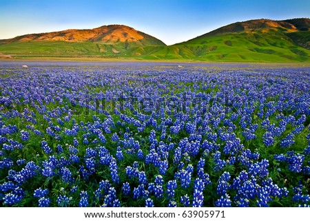 Field of lupines in the Spring - stock photo
