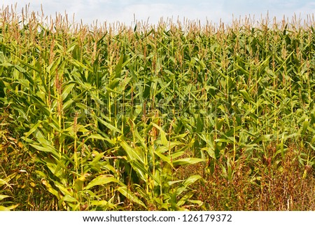 Field of maize or corn a popular animal feed now often genetically modified for increased yield, more recently the stems or stover are being used for biomass energy production - stock photo