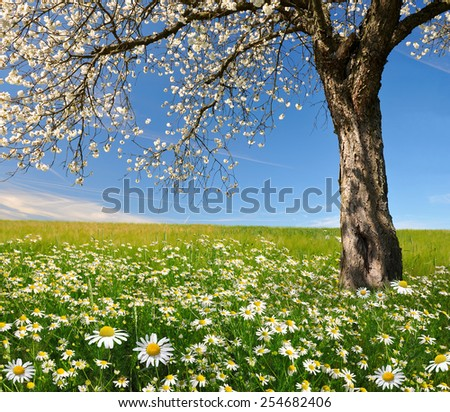 field of marguerites with blooming trees  - stock photo