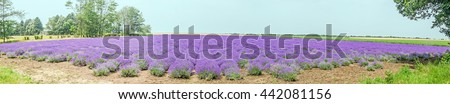 Field of mauve, purple Lavandula angustifolia, lavender, most commonly True Lavender or English lavender, garden lavender, family Lamiaceae - stock photo