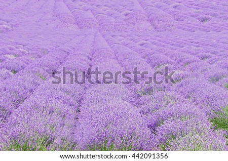 Field of mauve, purple Lavandula angustifolia, lavender, most commonly True Lavender or English lavender, garden lavender, family Lamiaceae. - stock photo