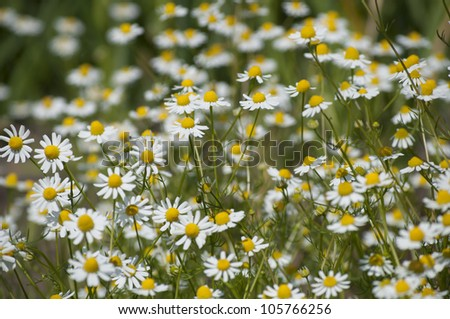 Field of medicinal plants (Matricaria chamomilla) - stock photo