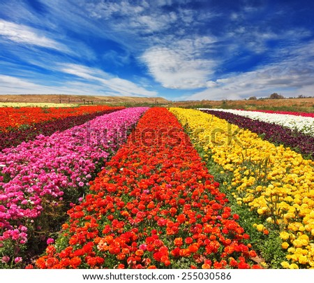 "Field of multi-colored decorative buttercups ""Ranunculus Bloomingdale"". Flowers planted with broad bands of bright colors - red, yellow, pink and purple  - stock photo"