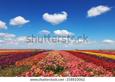 Field of multi-colored decorative flowers buttercups Ranunculus.  Flowers planted with broad bands of different colors. Spring fine day - stock photo