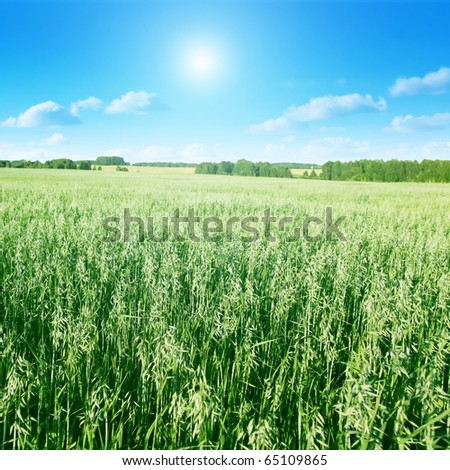 Field of oat on summer day. - stock photo