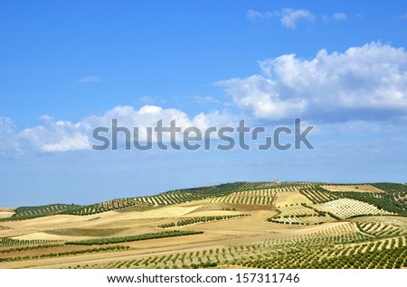 field of olive trees in Andalusia - stock photo