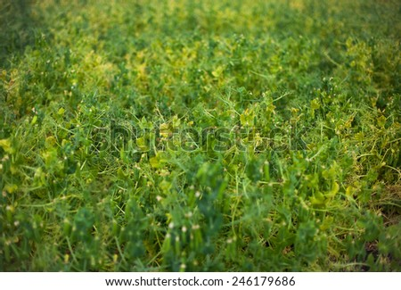 field of peas at spring - stock photo