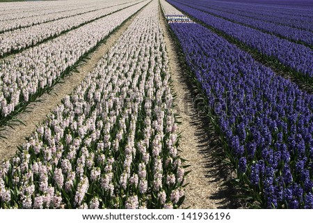 Field of pink and purple hyacinths in flowerbeds - stock photo
