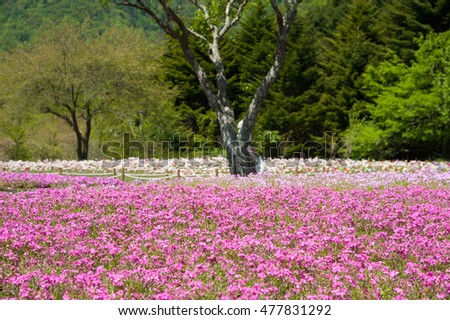Field of pink moss and cherry blossom in sunny day at Yamanashi, Kawaguchi, Japan