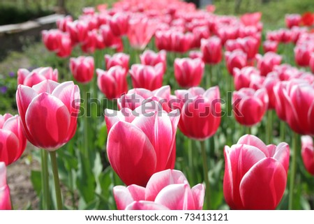 Field of pink tulips at sunny spring day - stock photo