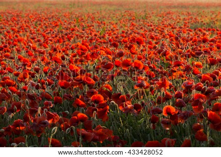 Field of poppies at dawn  - stock photo