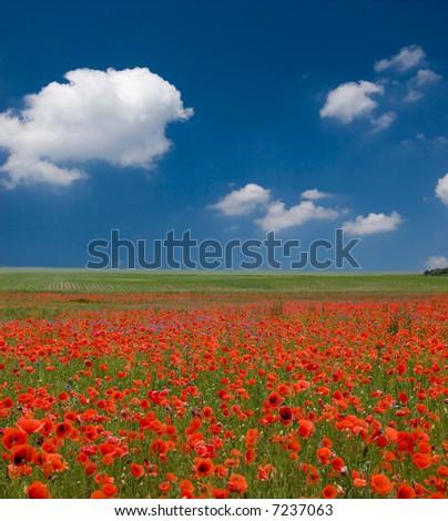 Field Poppies Beauty Blue Sky Stock Photo 7237063 ...