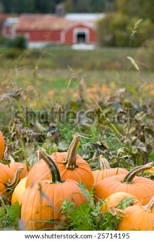 Field of pumpkins with old farm in the background - stock photo