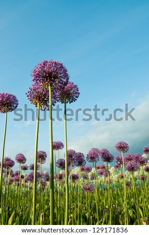 Field of purple alliums reaching into blue sky vertical - stock photo