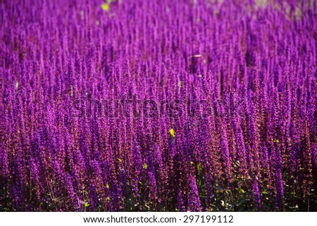 Field of purple flowers. Summer. In the open air. - stock photo