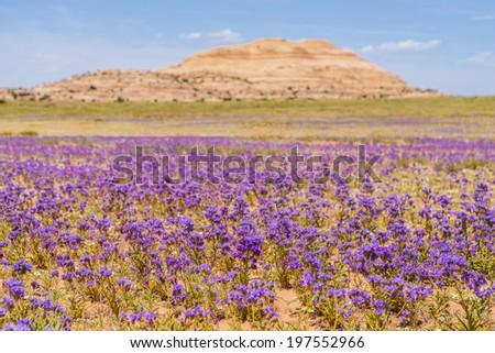 Field of Purple flowers - Utah - stock photo