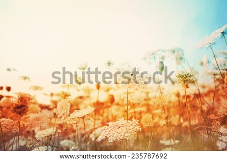 Field of Queen Anne's Lace. Instagram effect - stock photo