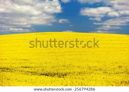 field of rapeseed - brassica napus - plant for green energy - stock photo