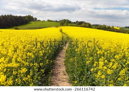 field of rapeseed (brassica napus) with rural road - plant for green energy and oil industry - stock photo