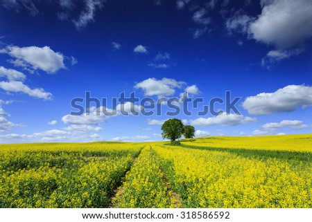 Field Of Rapeseed Canola Flowers In North Poland With Road And Tree/ Canola Rapeseed Field - stock photo
