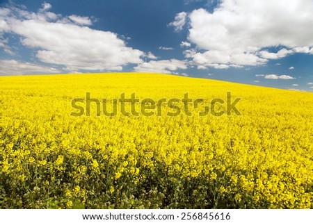 field of rapeseed with beautiful cloud - brassica napus - plant for green energy  - stock photo