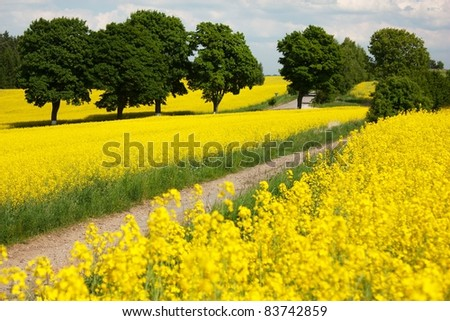 field of rapeseed with rural road - stock photo