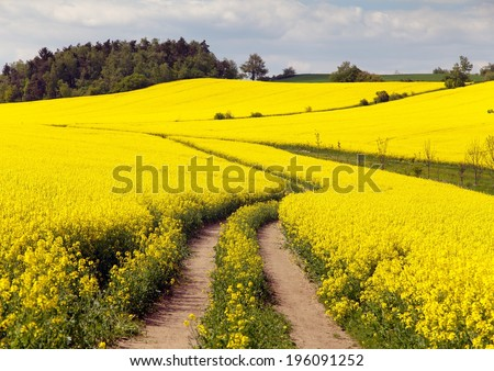 field of rapeseed with rural road - plant for green energy - stock photo