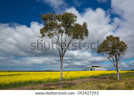 Field of rapeseed, with two eucaliptus and old farmhouse - stock photo