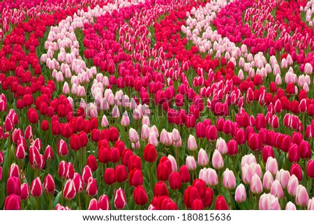 Field of red and pink tulips - stock photo