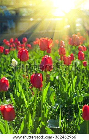 Field of red colored tulips