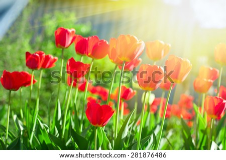 Field of red colored tulips with starburst sun - stock photo