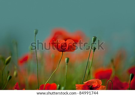Field of red corn poppy flowers in early summer