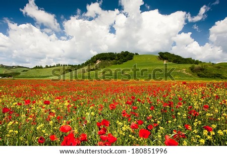 Field of red poppies flowering and Cypress trees, Italy, Tuscany. Background blue sky with clouds - stock photo