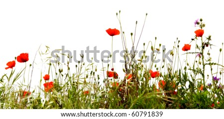 Field of red poppies, isolated on white background - stock photo